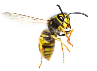 Bee Exterminator Glen Rock PA Wasp Exterminator Glen Rock PA 2