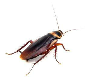 Cockroach Exterminator Glen Rock PA 2