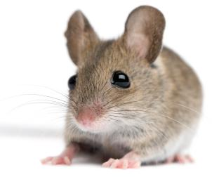 Mice Exterminator Glen Rock PA 2